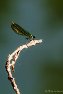 Caloptéryx femelle