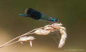 Caloptéryx male