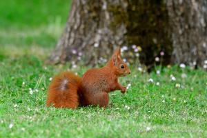 Ecureuil roux 2017 04 25 DSC0318 1