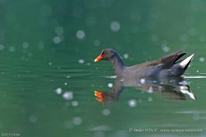 Gallinule poule d'eau 2011 04 27 DSC 4032 1