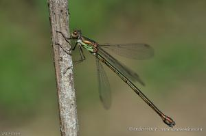 Leste vert Lestes viridis 2016 08 18 DSC5618 1