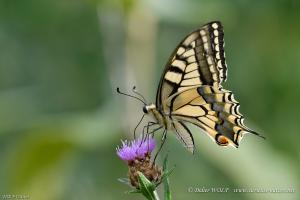 Machaon Papilio machaon 2016 07 26 DSC4901 1