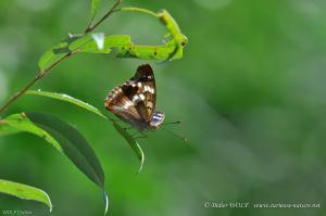 Petit mars changeant Apaturia ilia 2016 09 07 DSC6569 1